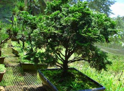 Como cuidar de um bonsai - Como cuidar bonsais ...