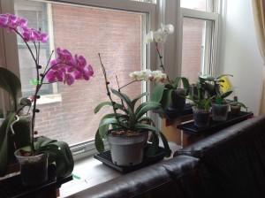 Procure deixar as orquídeas flroridas nas janelas, ou pelo menos próximas delas.