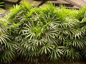 palmeira-rafis