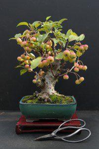 Bonsai De Frutifera Da Frutas Cultivando