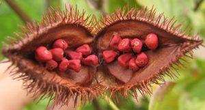 Semente de Urucum dentro do fruto