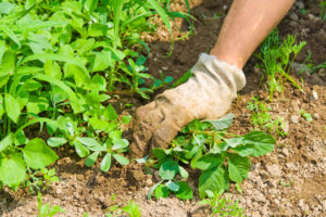 Em hortas caseiras, geralmente precisamos arrancar manualmente as plantas daninhas.