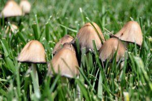 Cogumelos crescendo em meio à grama.
