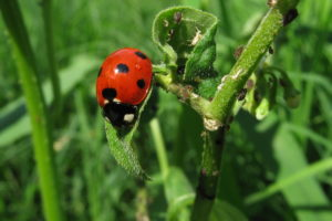 Joaninhas são insetos benéficos.