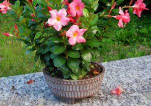 Plantas em ambientes abertos devem ficar longe dos pratinhos, evitando a dengue e a morte das plantas.