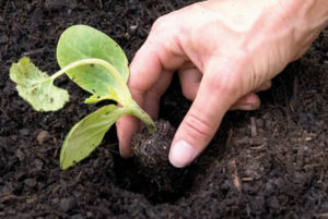 Plante nas covas abertas.