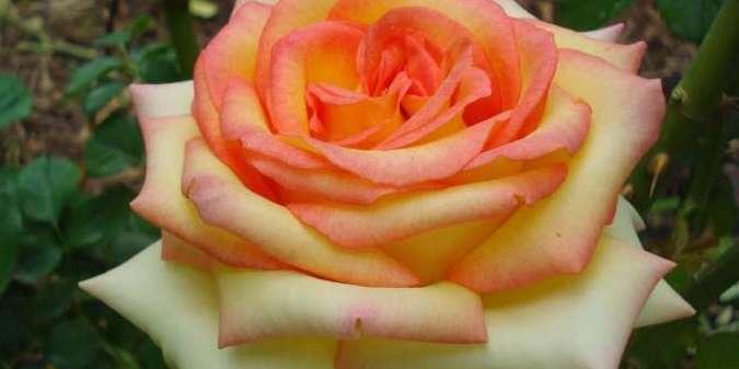 Rosas são comestíveis?