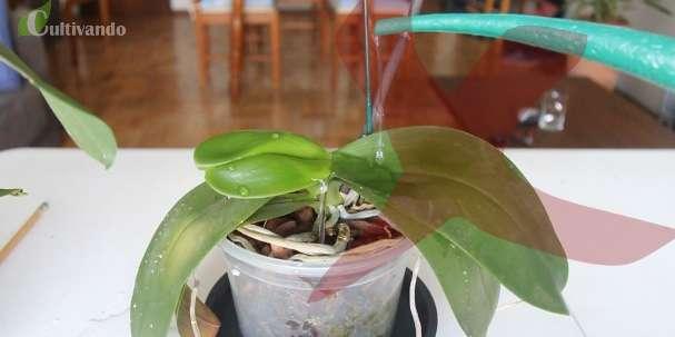 6 Dicas para regar as orquídeas