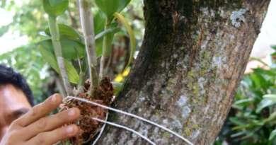 Como prender orquídeas em árvores?